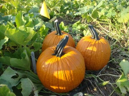 no-till wholesale pumpkins