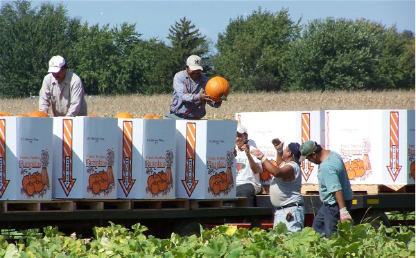 harvesting wholesale pumpkins