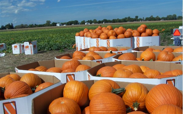 gladiator wholesale pumpkins